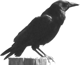 Crow on stump1